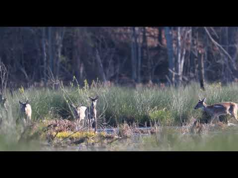 Deer at Big Creek Greenway, March 31st 2018
