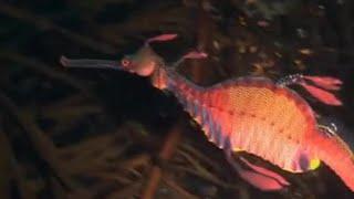 The weedy sea dragon - Oceans - BBC