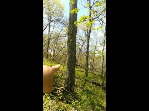 Morel mushroom hunting How to find morels around Ash trees