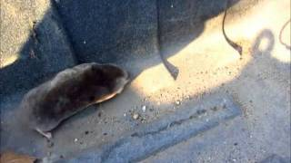 Watch A Live Mole Dig His Way To Freedom
