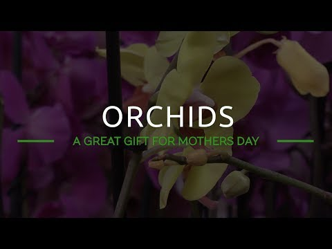 Orchids: A Great Gift For Mothers Day