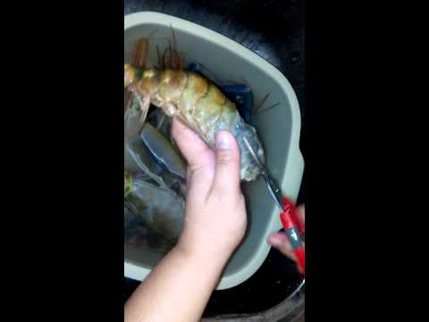 Preparing the Giant Freshwater Scampi