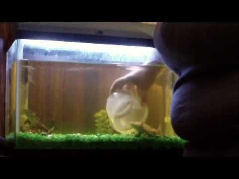 Deep Clean Aquarium, Clawed Frogs, Plecostomus