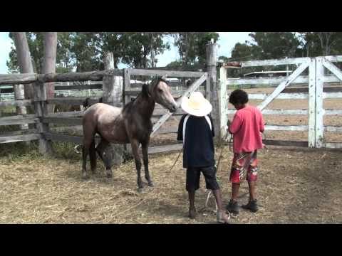 Stevo and Anthony putting halter on a Brumby.m2ts