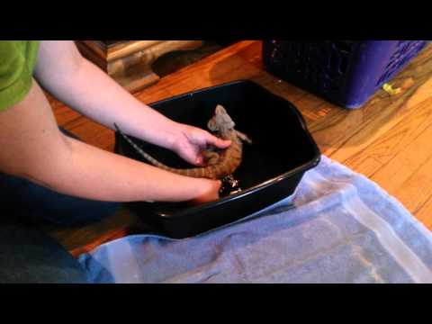Bearded dragon treatment for impaction part 1