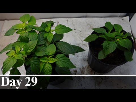 Pepper Plant Pruning Comparison, Day 29