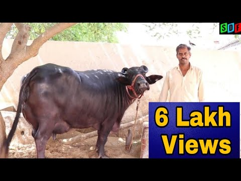 Buffalo Mandi In Pakistan