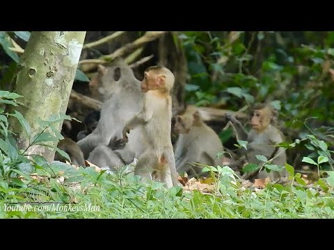 Baby Monkey Stand Up Walking Look like Kongaroo In Australia, Daily Monkeys Man #795