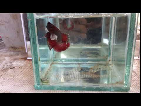 Male Cupang Betta Plakat DE Ready Breed
