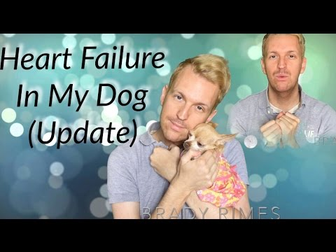 My Dog Has Congestive Heart Failure Chihuahua (Update 1)