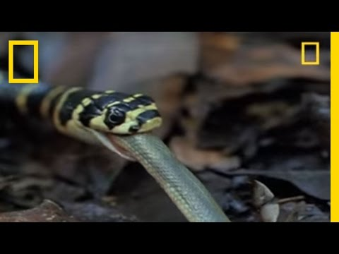 King Cobra vs. Olive Water Snake | National Geographic