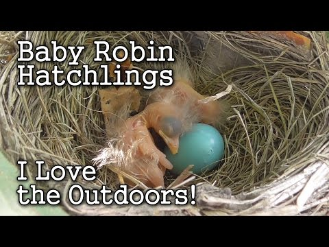 Young Hatchling Baby Robins in My Backyard Urban Garden
