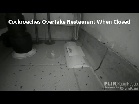 Cockroaches Overtake Restaurant when Closed – Before & After MintX Cockroach REPELLENT Garbage Bags