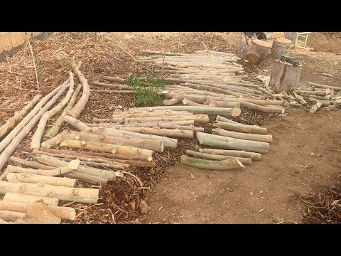 Ep153 - How to Prepre Moringa Cuttings from Yearly pruning