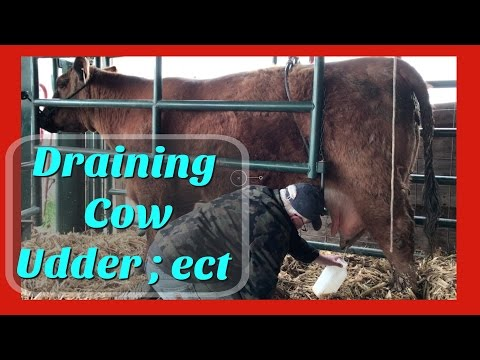 draining cow udder : fixing flat tire : farm life