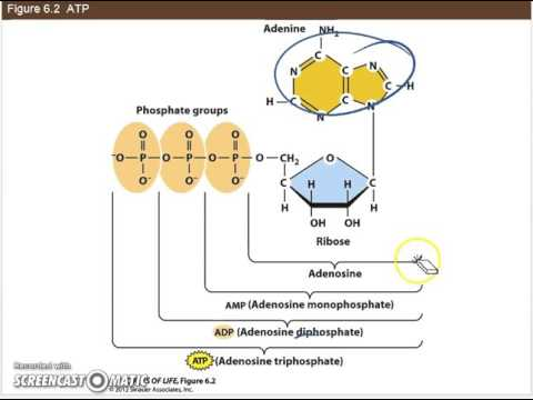 Ch 6.1b - Coupled reactions and ATP