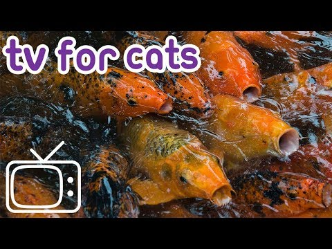 How to Calm my Cat Down After Surgery! Tv For Cats Watch This Hour of Koi Fish! Look After Your Cat!