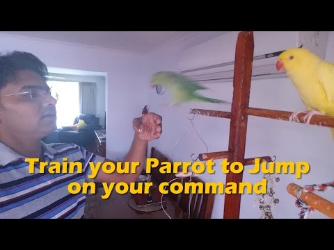 How to train your parrot to jump on finger