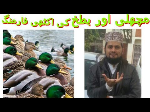 fish , duck and duckweed farming together in pakistan urdu