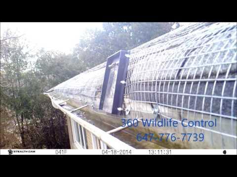 AMAZING 8 Raccoons Exit Bungalow Attic
