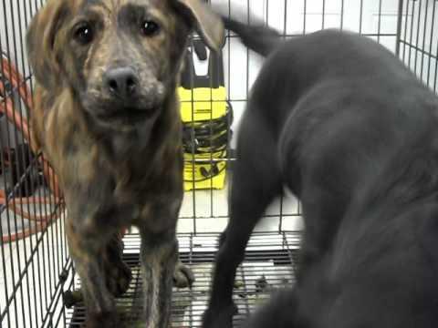 Meet Xabrina a Anatolian Shepherd currently available for adoption at Petango.com! 2/8/2011 10:55:33