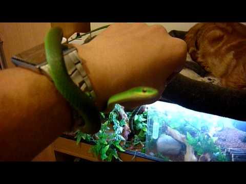 Rough green snake, Tutorial / Set Up