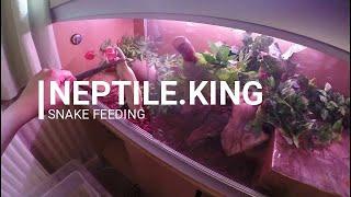 Snake Only Feeding Video