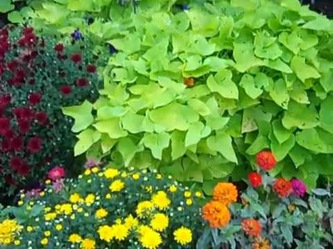 Sweet Potato Vines Make Great Foliage for Summer Color