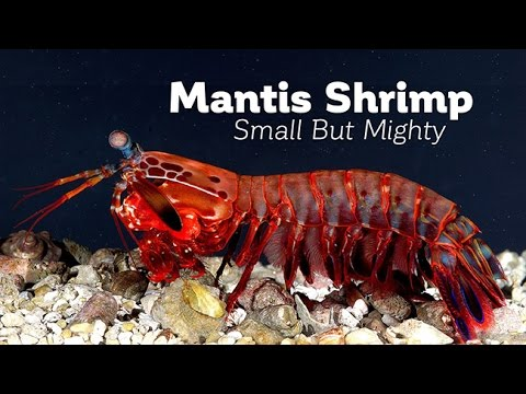 Small but Mighty: Evolution of the Mantis Shrimp Strike