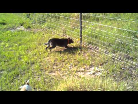 Our dog Pepper eating the electric fence.mp4