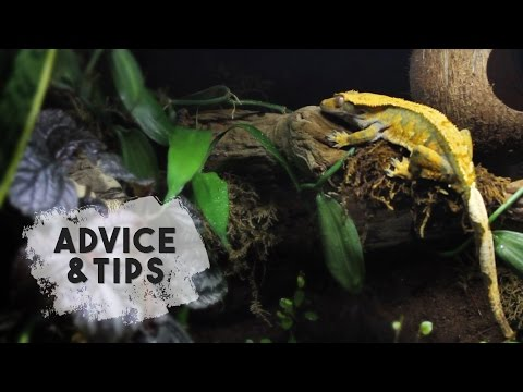 Advice For New Crested Gecko Owners!
