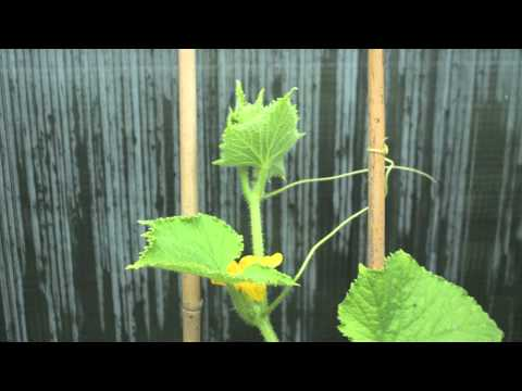 Disco Cucumber Time Lapse - with Wingscapes TimelapseCam