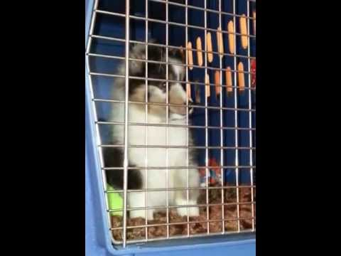 Sheltie Puppy Crying in Kennel