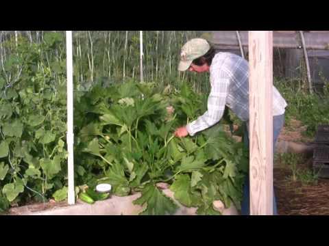 Spider Mite and Squash Bug Organic Control in the Zucchini Garden
