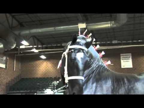World Percheron Supreme Champion