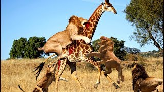 LIVE: Wild Animals Real Fight 2017 - Amazing Wild Animals Attacks