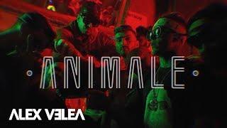 Download Alex Velea - Animale | Official Video
