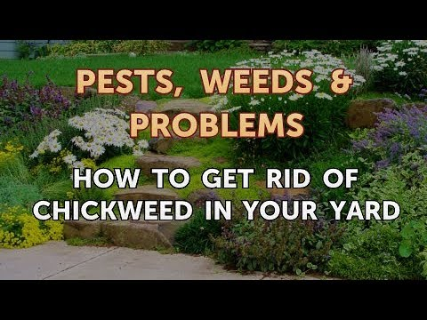 How to Get Rid of Chickweed in Your Yard