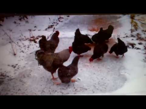 Keep Chicken Eggs From Freezing In Winter