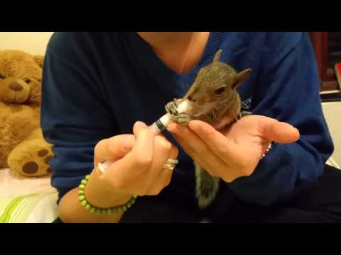How to Feed a Baby Squirrel. Cute and Adorable.