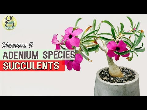 Adenium Species Caudiform Succulents Atlas | Summer Succulent Plants Identification with Pictures