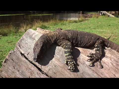 AwA Australian Lace Monitor lizard
