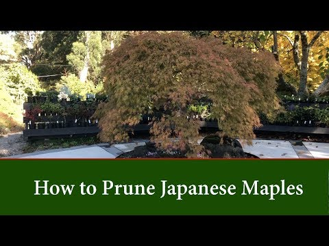 How to Prune and thin Japanese Maples - Part 1.