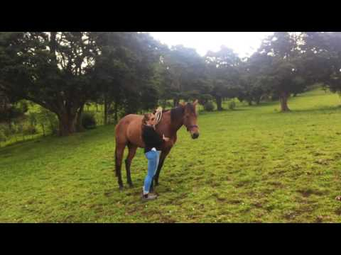 Working with a herd bound horse