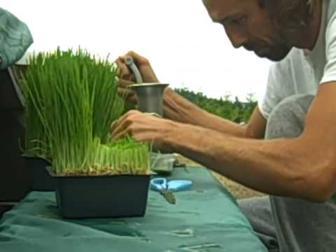 WHEATGRASS, THE MIRACLE SUPERFOOD + How to Make Wheat Grass Juice !! ;-)