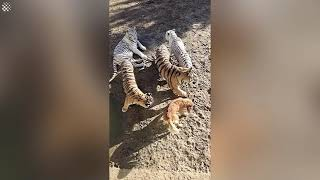 Tigers think Labrador Retriever is their mom