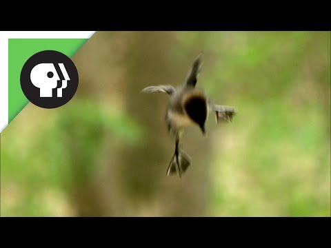 Ducklings Jump from Nest 50 Feet in the Air
