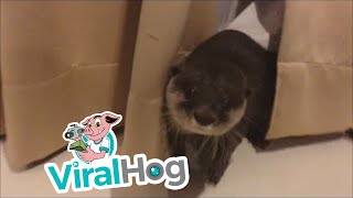 Cartel the Otter Plays in Curtains