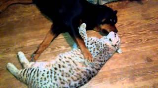 Wild bobcat cuddles with a rottweiler