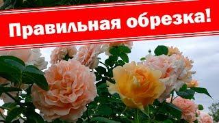 Правильная обрезка плетистых роз после цветения, бордюрных роз. Летняя подкормка роз